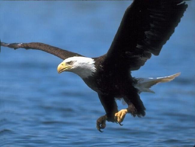 águia em vôo